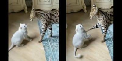 Kat valt Serval aan: haar reactie is een voorbeeld voor menig mens en dier! (VIDEO)