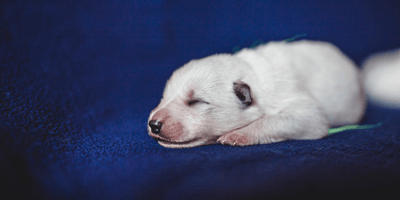 Owner stunned when her Swiss Shepherd's 8th pup is born a very strange colour