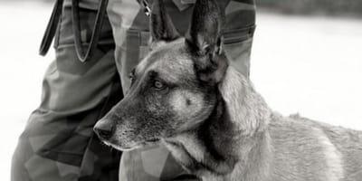 Cani soldato abbandonati a Kabul: la risposta del Pentagono