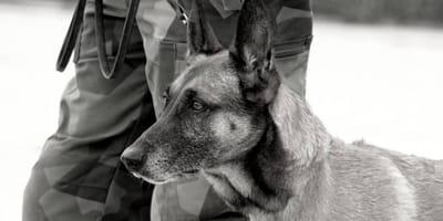 125 militaire honden door Amerikaans leger achtergelaten in Afghanistan
