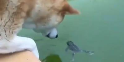 Shiba inu zagląda do stawu z żabą. To, co się dzieje później, po prostu trzeba zobaczyć!
