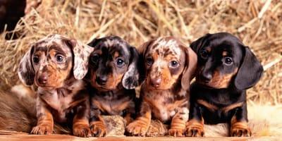 Tipos de perro salchicha, ¿cuántos hay según tamaño y pelaje?