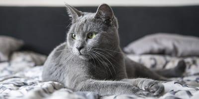 Szare koty – najpiękniejsze rasy kotów o szarym umaszczeniu