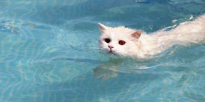 gato nadando en una piscina