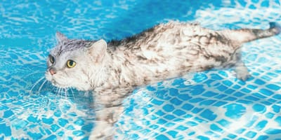 ¿Los gatos saben nadar?