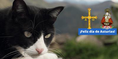 gato blanco y negro en asturias