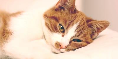 Alla scoperta della gangliosidosi del gatto