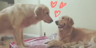 Papá perro quiere conocer a sus bebés, ¡pero antes le pide permiso a la mamá!
