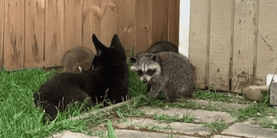 Dog comes face to face with baby raccoons: His reaction leaves owner stunned