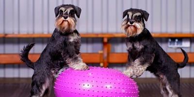 Come funziona la fisioterapia per cani?