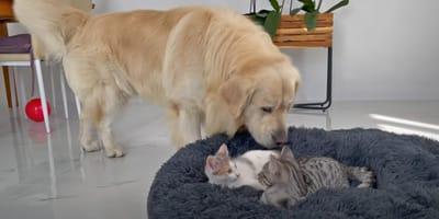 Kätzchen besetzen Hundekorb: Plötzlich kommt ein Golden Retriever (Video)