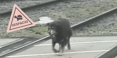 Tren llega tardísimo con tal de no molestar a un perro viejito que camina en la vía