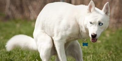 cane husky bianco e occhi blu che fa la cacca