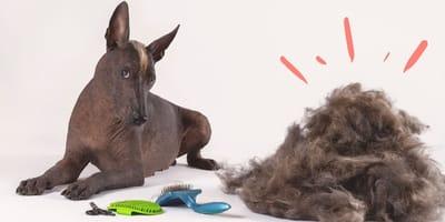 ¿Hay xoloitzcuintles con pelo?
