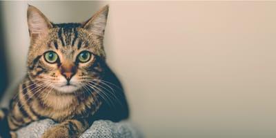 Tutto sull'origine e il carattere del gatto Soriano