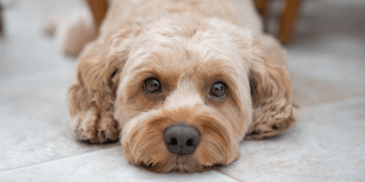 Wenn die Kniescheibe herausspringt: Patellaluxation beim Hund