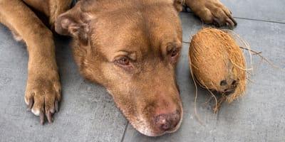 Olio di cocco al cane: buona o cattiva idea?