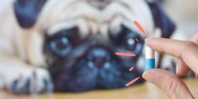 Amoxicilina para perros: ¿para qué sirve y cuánta darle?