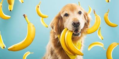 ¿Puede comer plátano un perro?