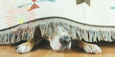 ¿Por qué los perros le tienen miedo a los cohetes? ¡Cuidado con los cuetes y tu can en estas fiestas!