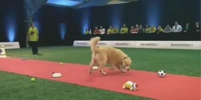 perro golden concurso