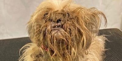 Polizei findet verwahrlosten Hund: Niemand hätte gedacht, wer sich unter dem Fell versteckt