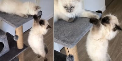 Two cats put on a show by reenacting a mythical scene from the Lion King