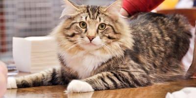 Felini da record: tutto sui gatti più grandi del mondo