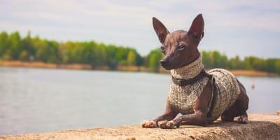 Perro azteca: 10 cosas que no sabías de esta raza