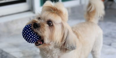 Watch: Shih Tzu dog asks her owner to play in the most original way ever!