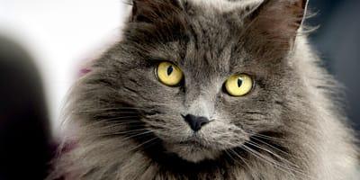 Astuzie per la cura del gatto a pelo lungo