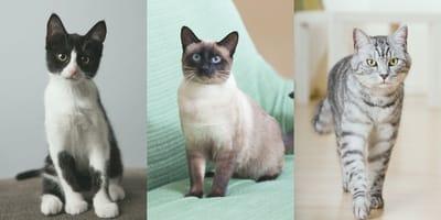 ¿Cómo saber la raza de mi gato?