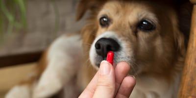 Doxiciclina para perros: para qué sirve, dosis, precio y efectos secundarios
