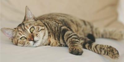 Mi gato tiene diarrea y el ano irritado, ¿qué le pasa?