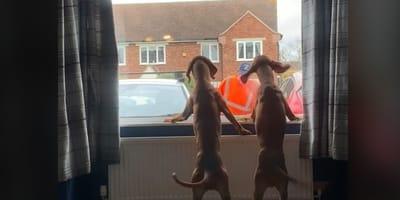 Kiedy pod dom podjeżdża śmieciarka, te psy dostają szału. Powód Was zaskoczy! (VIDEO)