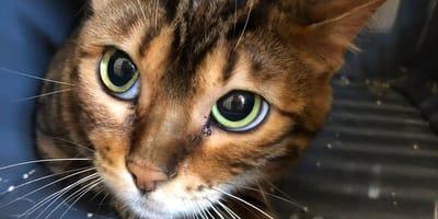 Bengal-Katzen in Bayern gefunden: Tierschützer riechen etwas und haben furchtbaren Verdacht!
