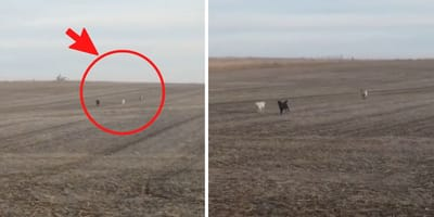 Man finds his lost dog in a field and laughs when he sees that he is not alone (Video)