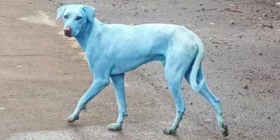 Blaue Hunde in Indien: Ihr Geheimnis ist nun endlich gelüftet!