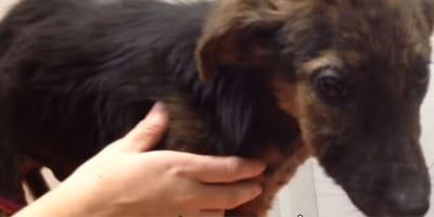 Vogliono sopprimere il cane perché non gioca, ma il motivo è un altro (Video)