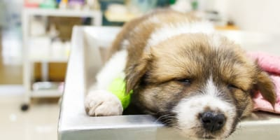 Owner wants to euthanize his dog because he won't play, the vet's discovery changes everything