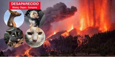 Erupción en La Palma: lista de perros y gatos perdidos con sus fotos, ¡difunde!