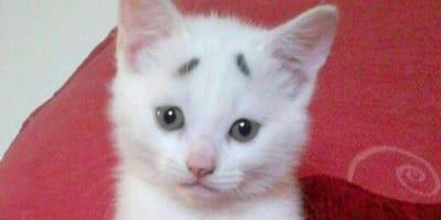 gattino bianco con sopracciglia nere