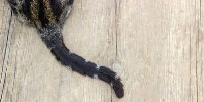 Rifugio accoglie gatto estremamente raro: succede solo ogni 3000 esemplari!