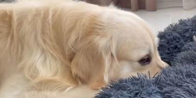 Cagnolino trova la sua cuccia occupata: impossibile non ridere (Video)