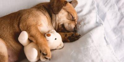 Cosa sognano i cani? Ecco perché Fido piange nel sonno
