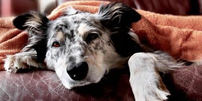 Come si manifesta la pancreatite nel cane e come si cura?