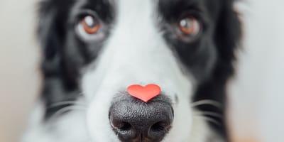 Quali sono le malattie cardiache nel cane?