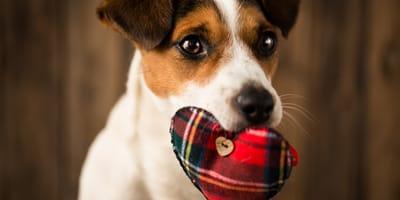 Quanto vive un cane cardiopatico?