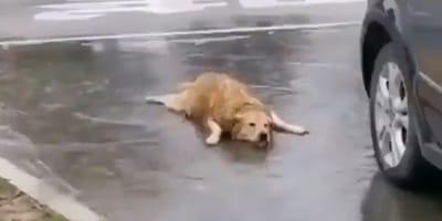 Nie lubisz, kiedy pada deszcz? Kiedy zobaczysz filmik z tym goldenem, zmienisz zdanie!