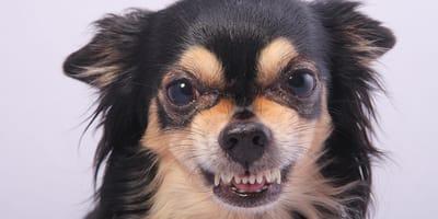 Come calmare un cane aggressivo?